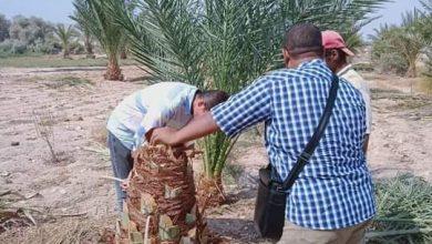 صورة مدير زراعة جنوب سيناء يوضح طرق مكافحة سوسة النخيل الحمراء